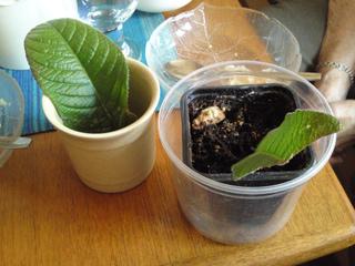 Boutures de feuilles de streptocarpus