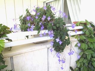 Streptocarpus saxorum sur un balcon