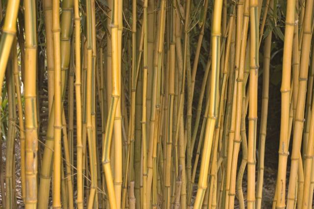Bambous color s cannes ou feuillages les plus belles - Jardin de bambou cannes ...