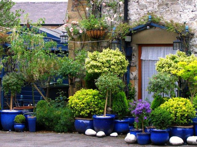 Pots bleus et feuillages dor s jardins de pots - Arbuste pour terrasse plein soleil ...
