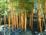Bambous colorés