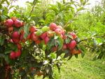 L'alternance chez les fruitiers : pourquoi ce phénomène, comment l'éviter ?
