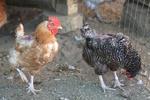 Picage chez les poules : comment réagir ?