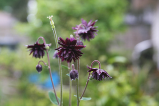 Ancolie noire ('Black Barlowe')
