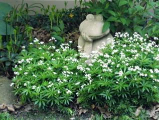 Touffe d'aspérule odorante sous un arbuste