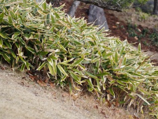 Petits bambous et bambous nains : sélection d'espèces et variétés