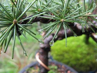 Entretien d'un bonsaï : arrosage, engrais, rempotage, taille...