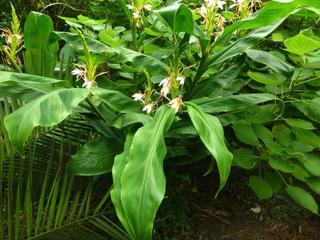 Hedychium forrestii