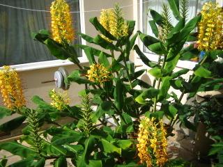 Hedychium gardnerarium