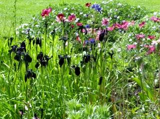 Les iris noirs mettent en valeur les autres fleurs