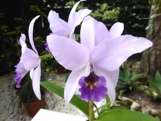 Laelia anceps en fleurs