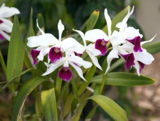 Laelia purpurata (Cattleya)