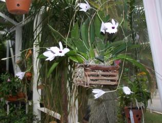 Laelia rubescens cultivé en panier