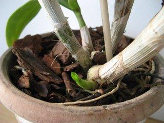 Orchidée dans un mélange d'écorces