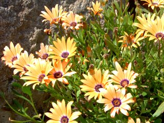 Osteospermums oranges en massif