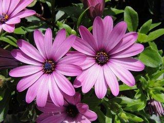 Osteospermum violet