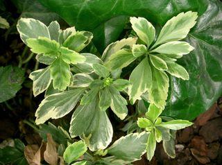 Pachysandra terminalis, variété panachée