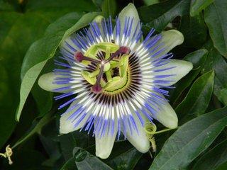 Passiflore - passiflora caerulea