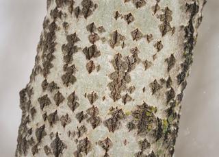 Ecorce de peuplier blanc (Populus alba)