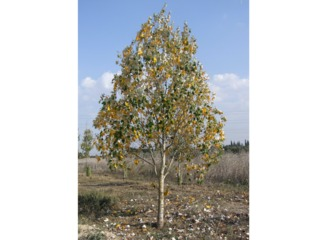Jeune peuplier en automne (Populus alba)