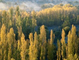 Peupliers en automne - Populus nigra