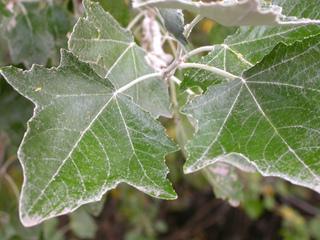 Peuplier blanc - Populus alba (feuilles)