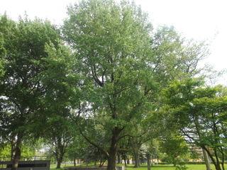 Peuplier grisard - Populus canescens