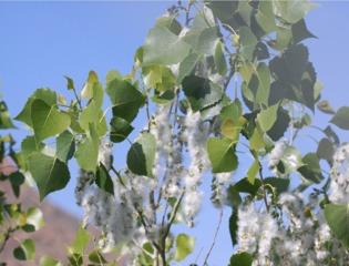 Chatons et pollen de peuplier (Populus deltoides)