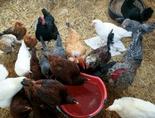 Eau de boisson pour les poules