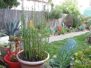 Prêle décorative - Equisetum hyemale en pot