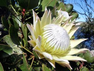 Protea cynaroides blanche