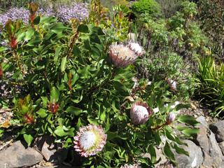 Protea cynaroides dans une rocaille