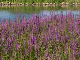Salicaire (Lythrum salicaria) au bord d'un étang
