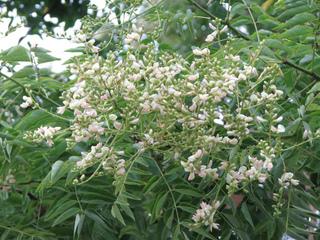 Fleurs de Sophora japonica