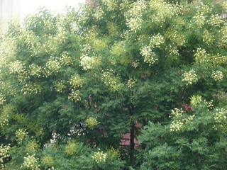 Sophora japonica en fleurs