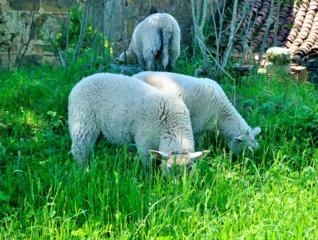 Tonte d'une pelouse sauvage par des moutons