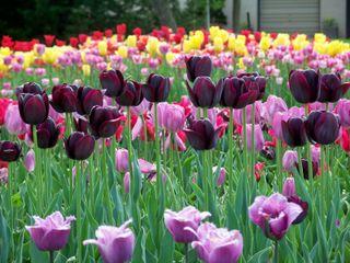 Tulipe 'Queen of the Night'