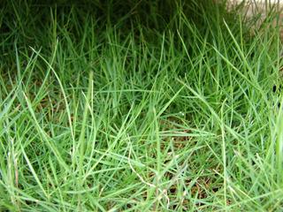 Zoysia tenuifolia : feuillage très fin