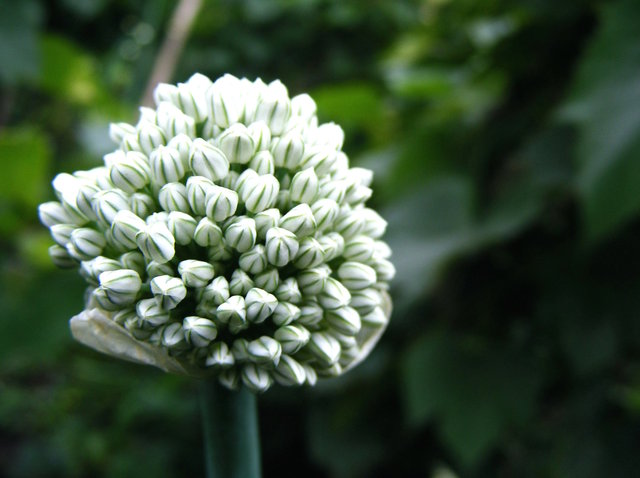 Ail (Allium sativum) - Fleur (Fleurs de légumes)