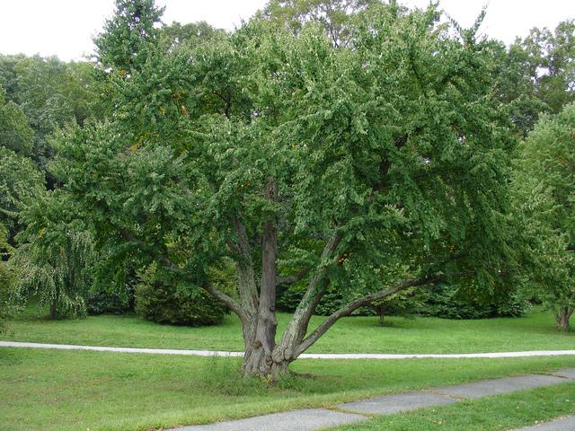 Arbre caramel cercidiphyllum japonicum culture et taille for De l arbre au meuble