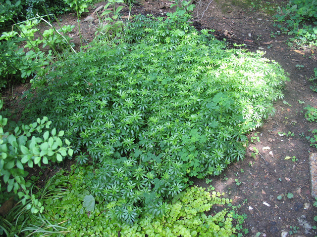 Asp rule odorante galium odoratum plantation culture for Plante odorante