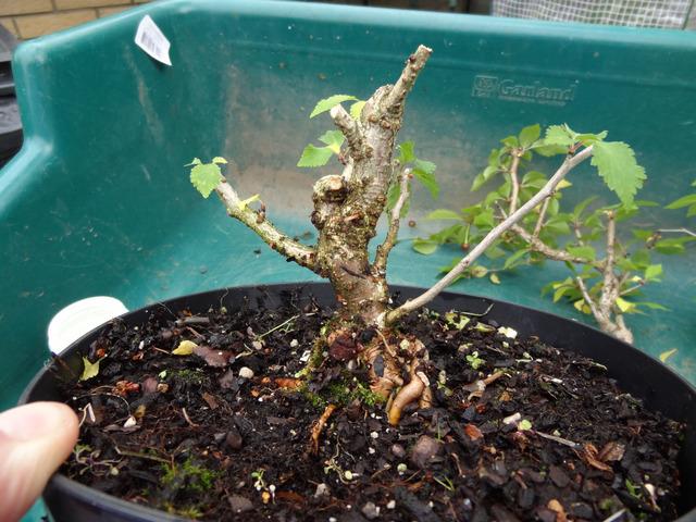 Entretien d 39 un bonsa arrosage engrais rempotage for Bonsai artificiel grande taille