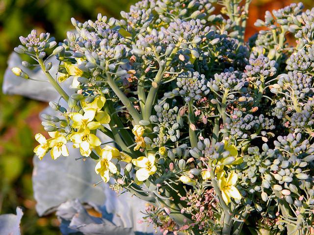 Brocoli (Brassica oleracea) - Fleur (Fleurs de légumes)