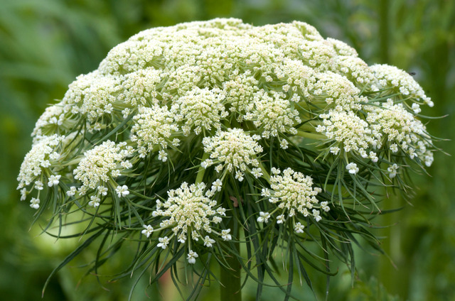 Carotte (Daucus carota) - Fleur (Fleurs de légumes)
