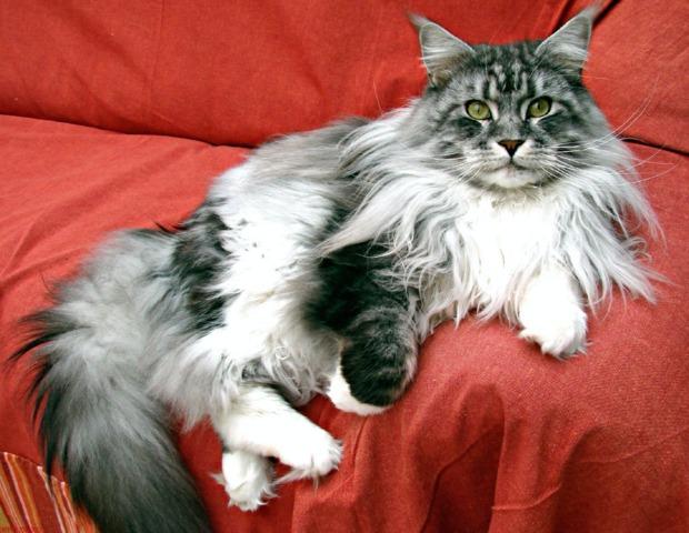 Les 10 chats de race préférés des Français