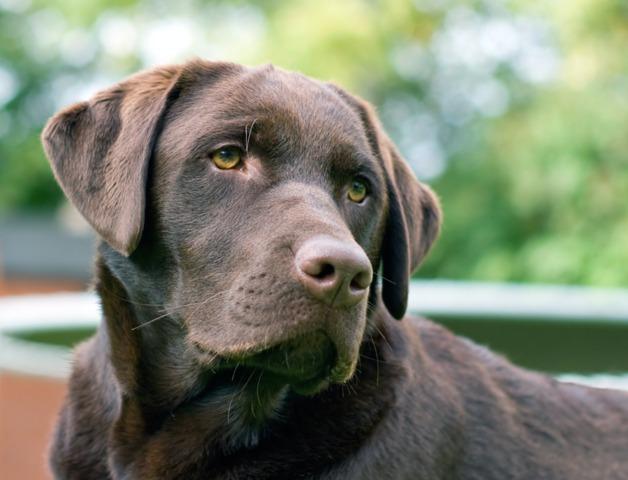 les 10 races de chiens pr f r es des fran ais. Black Bedroom Furniture Sets. Home Design Ideas