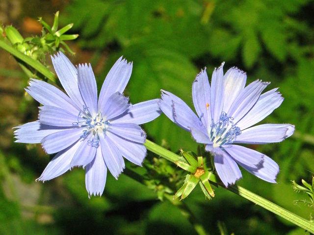 Endive (Cichorium intybus) - Fleur (Fleurs de légumes)
