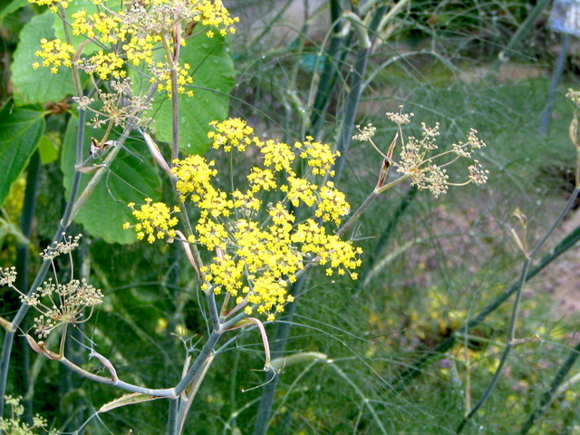 Fenouil (Foeniculum vulgare) - Fleur (Fleurs de légumes)