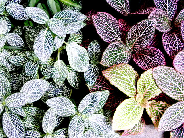 Fittonia culture et entretien en int rieur for Plantes tropicales d interieur