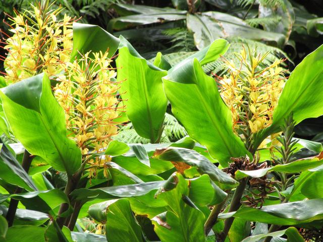 Hedychium, une exotique généreuse et surprenante